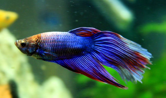 Betta splendens for Red para peces de acuario
